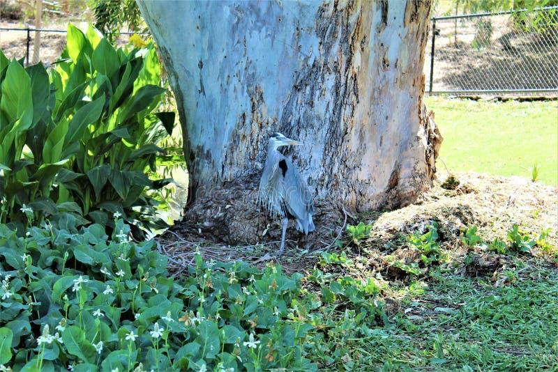 Pássaro vadeando de garça-real de grande azul grande imagens de stock royalty free