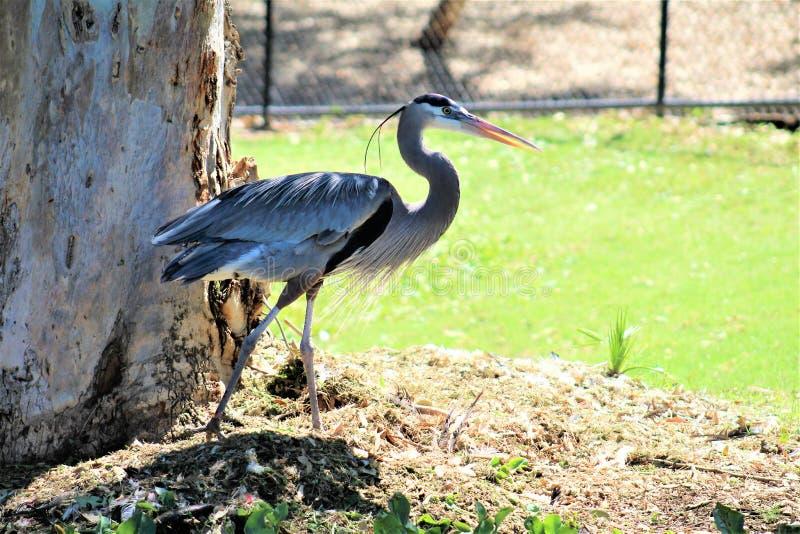 Pássaro vadeando de garça-real de grande azul grande imagens de stock