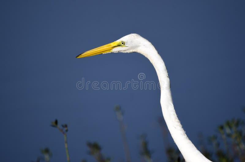 Pássaro vadeando de pernas longas do grande Egret branco fotos de stock royalty free