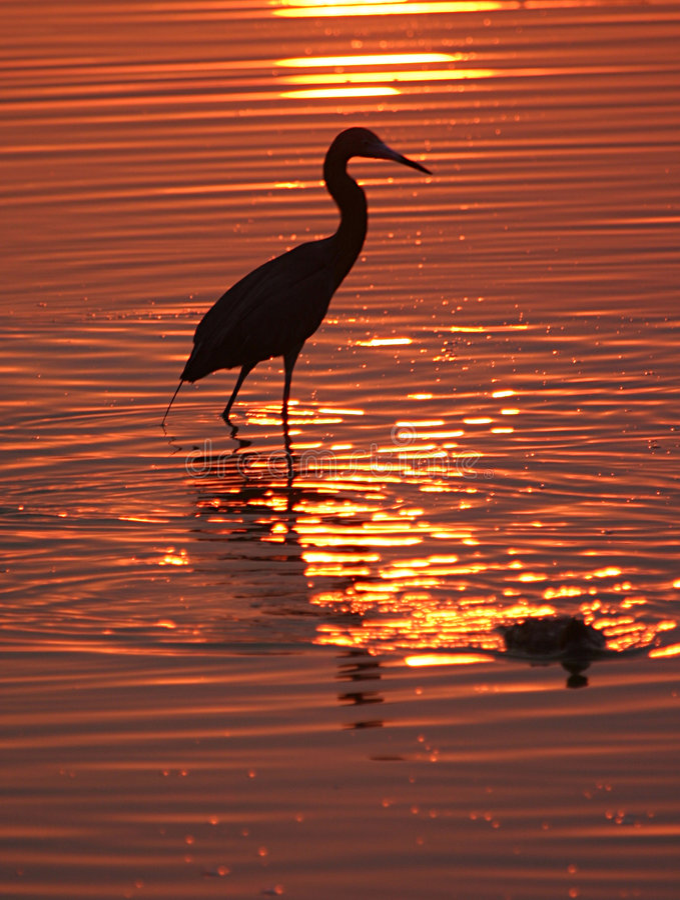 Pássaro vadeando no por do sol
