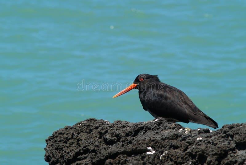 Pássaro variável da pega-do-mar imagem de stock royalty free