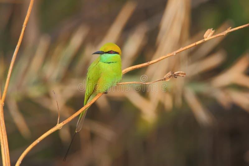 Pássaro verde do comedor de abelha fotos de stock royalty free