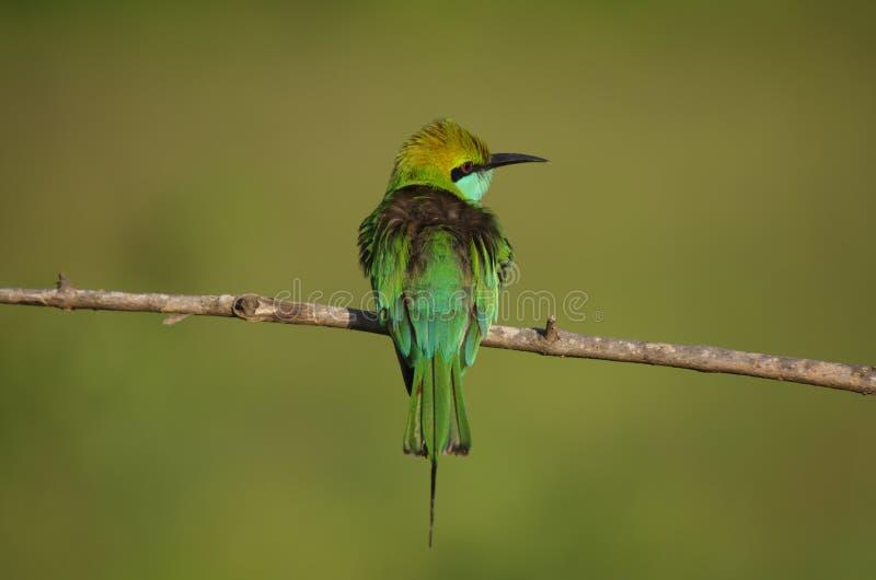 Pássaro verde pequeno do comedor de abelha, Sri Lanka fotografia de stock