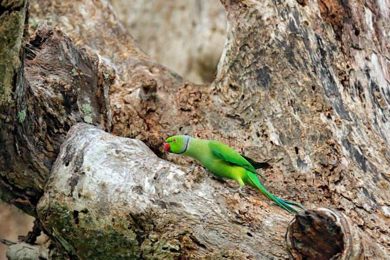 Pássaro verde que senta-se no tronco de árvore com furo do ninho Periquito Rosa-rodeado do aninhamento, krameri do Psittacula, pa imagem de stock