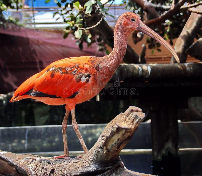 Pássaro vermelho dos íbis fotografia de stock royalty free
