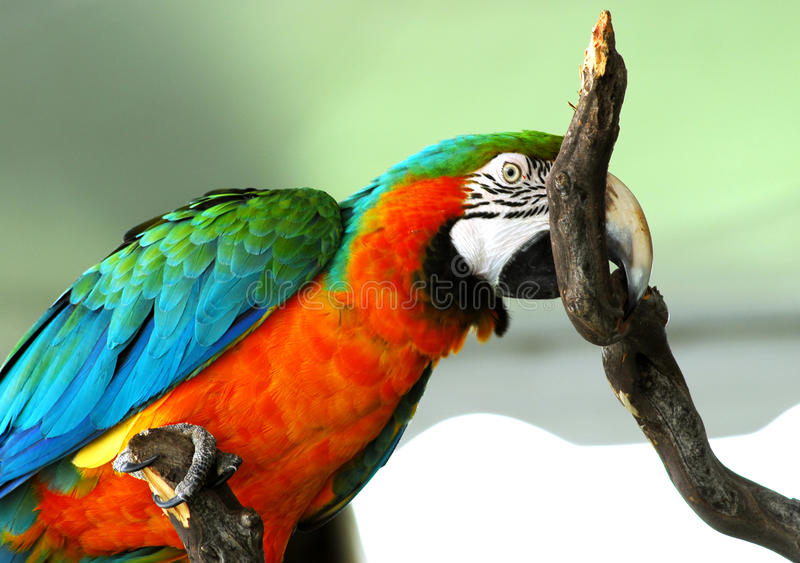 Pássaro vermelho dourado do Macaw isolado fotografia de stock