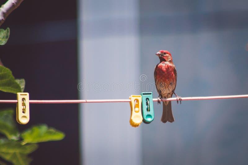 Pássaro vermelho na corda imagem de stock
