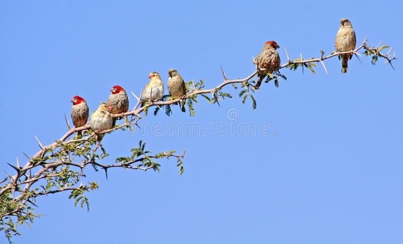 Pássaros africanos selvagens fotografia de stock