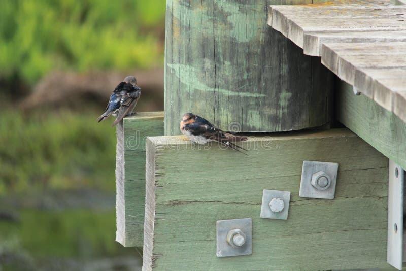 Pássaros australianos fotografia de stock