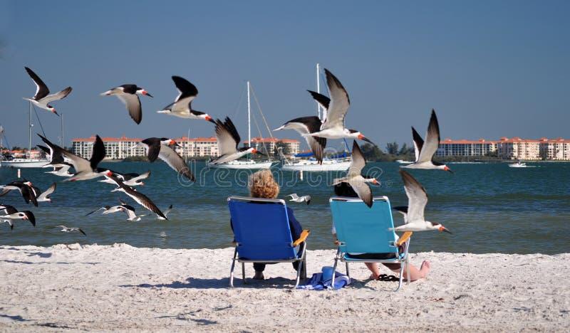 Pássaros a baixa altitude, GulfPort FL imagem de stock