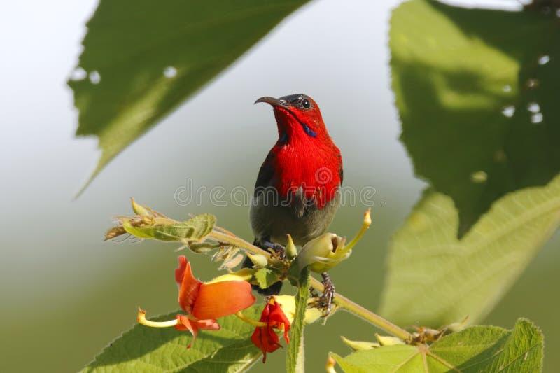 Pássaros bonitos masculinos do siparaja carmesim de Sunbird Aethopyga de Tailândia imagem de stock royalty free