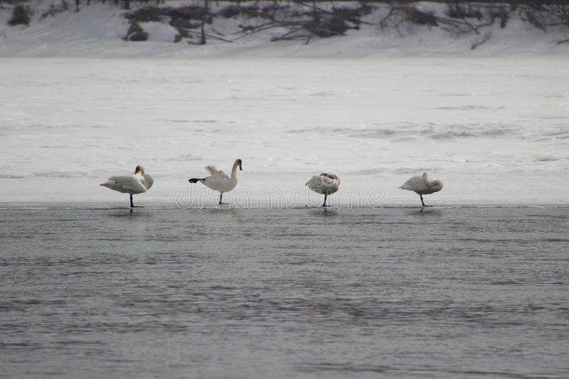 Pássaros bonitos na mola adiantada na praia fotos de stock royalty free