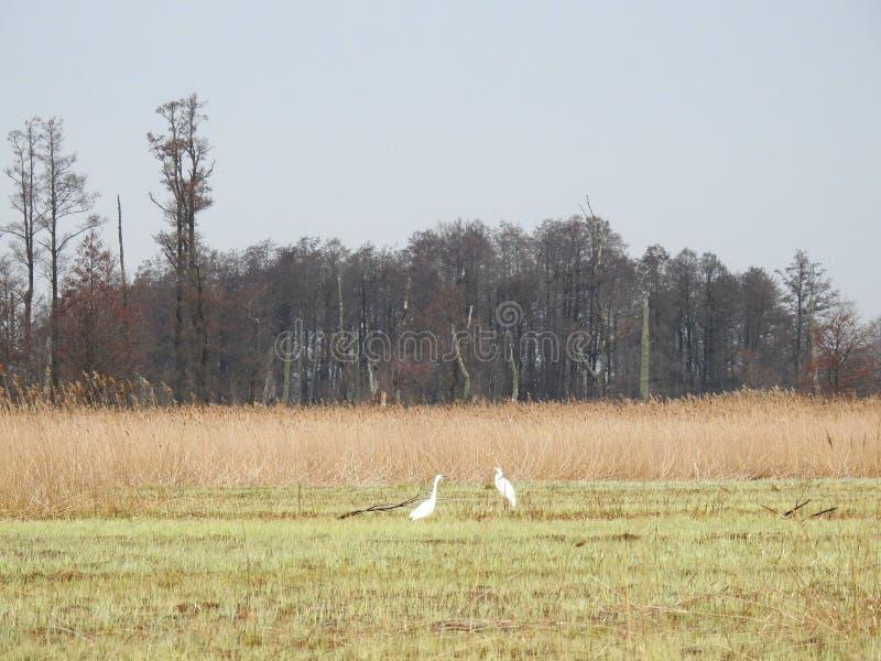Pássaros brancos do guindaste no pântano, Lituânia foto de stock