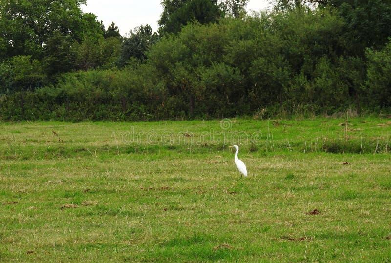 Pássaros brancos do guindaste no pântano na grama, Lituânia imagem de stock royalty free