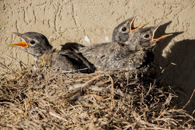 Pássaros com fome imagens de stock