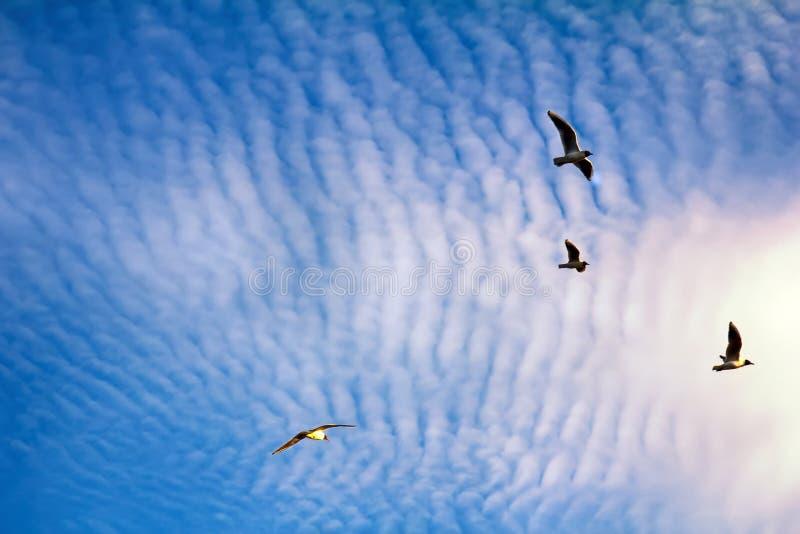 pássaros crescentes ao apreciar nuvens de altocumulus impressionantes foto de stock royalty free