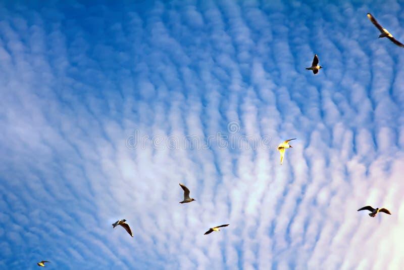 pássaros crescentes ao apreciar nuvens de altocumulus impressionantes foto de stock