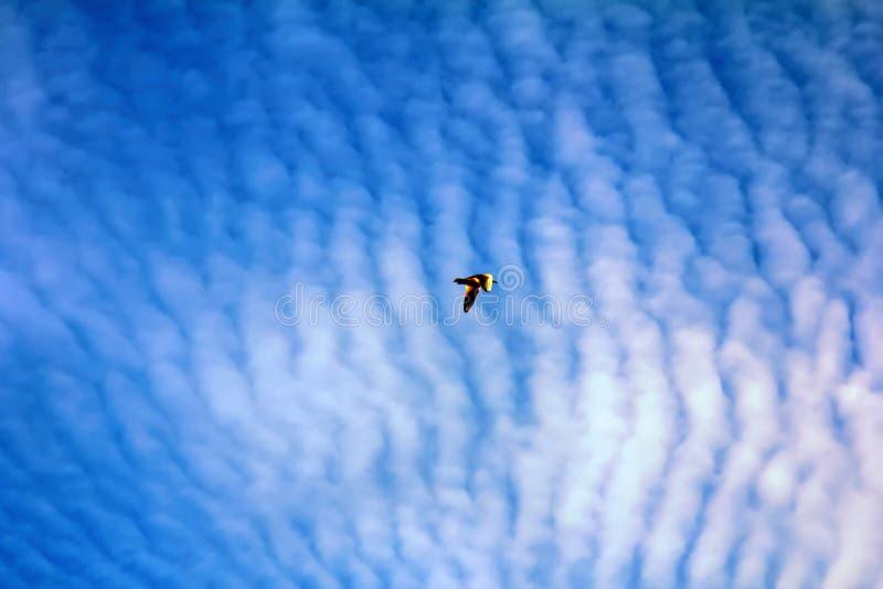 pássaros crescentes ao apreciar nuvens de altocumulus impressionantes fotografia de stock