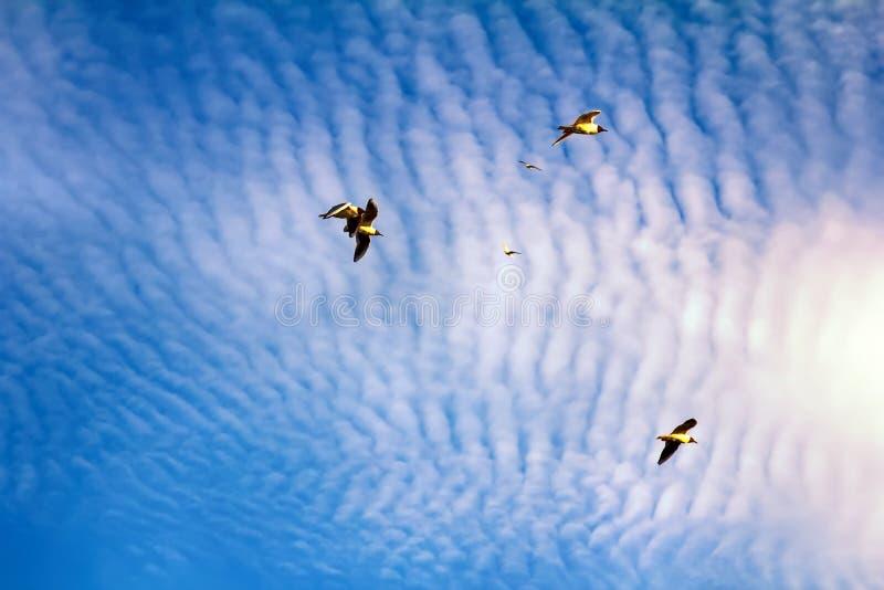 pássaros crescentes ao apreciar nuvens de altocumulus impressionantes imagens de stock royalty free