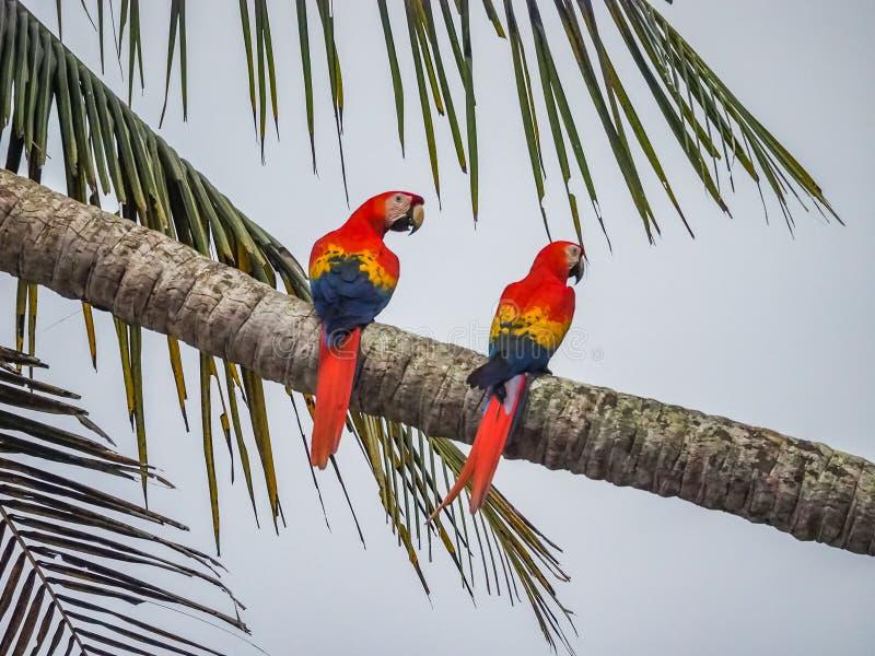 2 pássaros da arara em uma palmeira Drake Bay Views em torno de Costa Rica imagem de stock royalty free