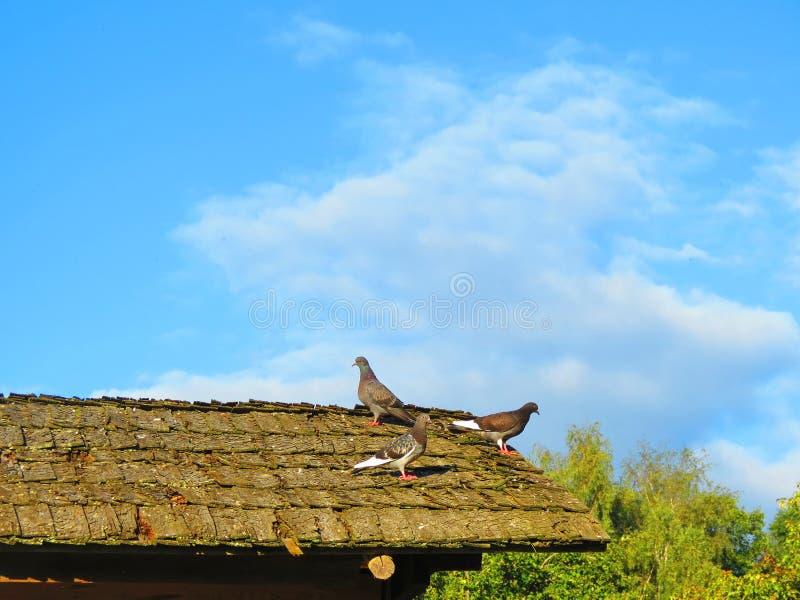 Pássaros da pomba no telhado home velho, Lituânia imagens de stock royalty free