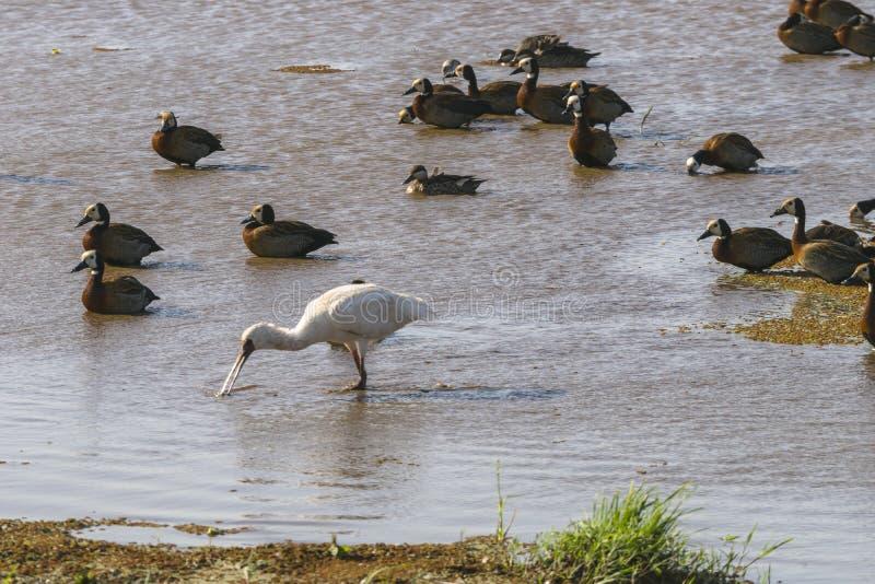 Pássaros de água no lago Manyara foto de stock royalty free