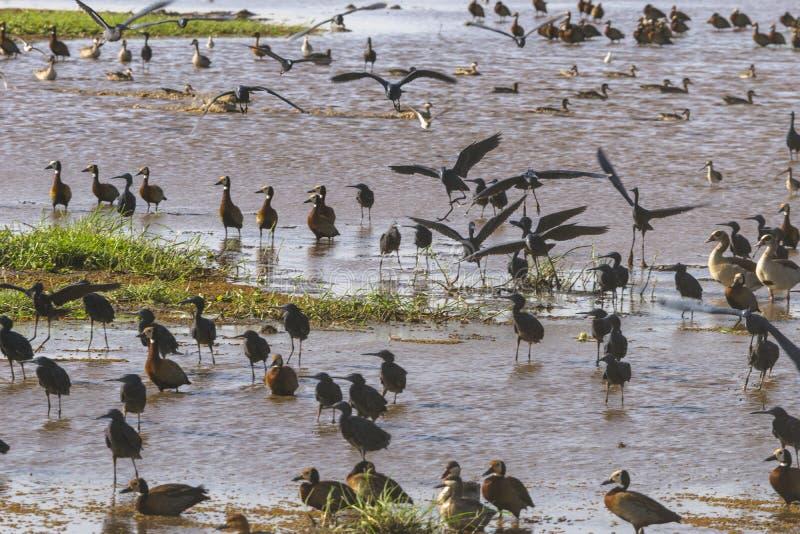 Pássaros de água no lago Manyara foto de stock