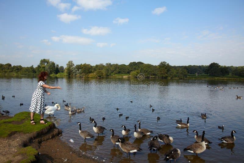 Pássaros de alimentação da mulher no lago imagens de stock