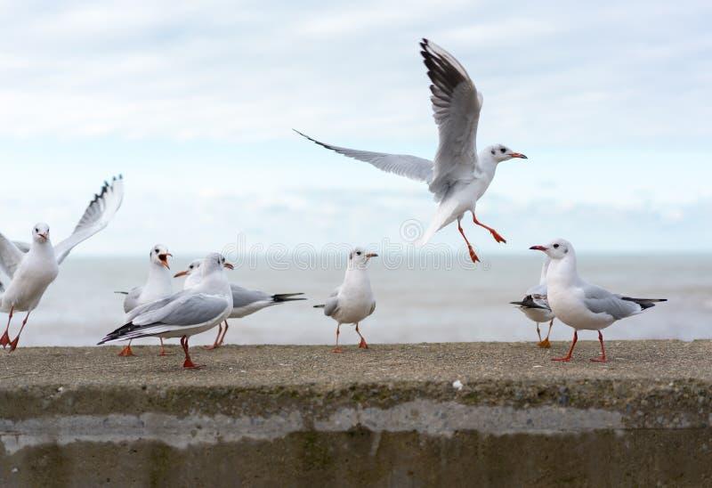 Pássaros de alimentação no litoral Gaivotas pássaros imagem de stock
