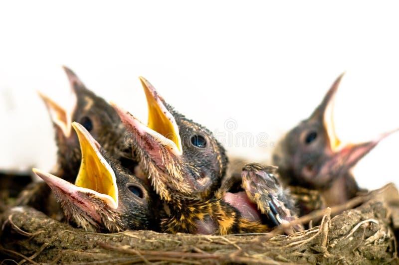 Pássaros de bebê imagens de stock royalty free