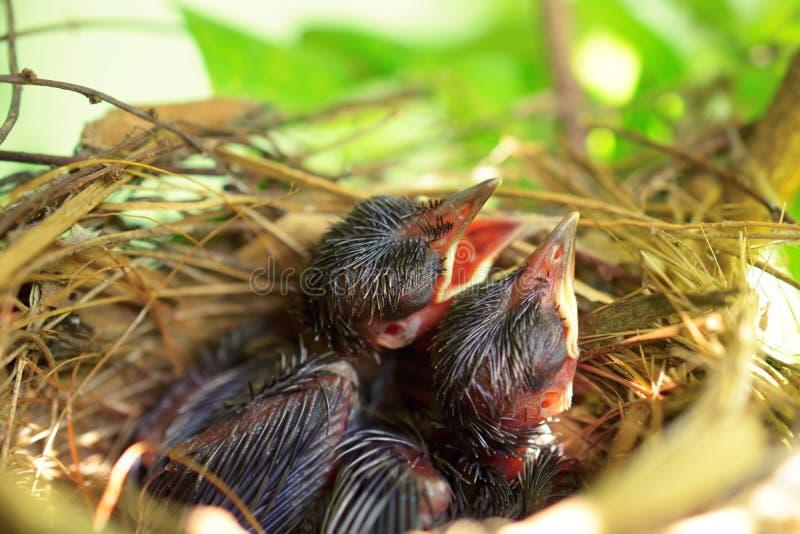 Pássaros de bebê com fome recém-nascidos imagem de stock royalty free