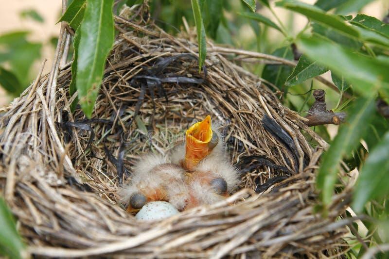 Pássaros de bebê no ninho imagens de stock