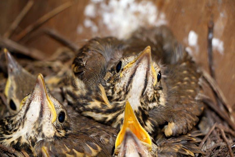 Pássaros de bebê pequenos que sentam-se no ninho, fotografia do close-up de n foto de stock royalty free