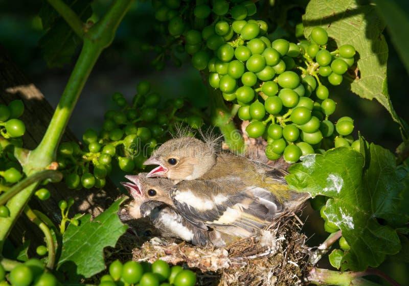 Pássaros de bebê recém-nascidos no ninho fotografia de stock