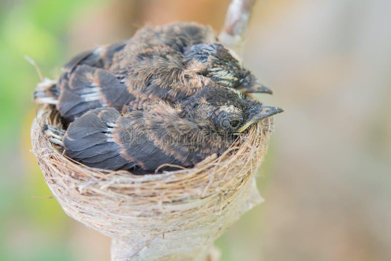Pássaros de bebê recém-nascidos no ninho em uma árvore foto de stock