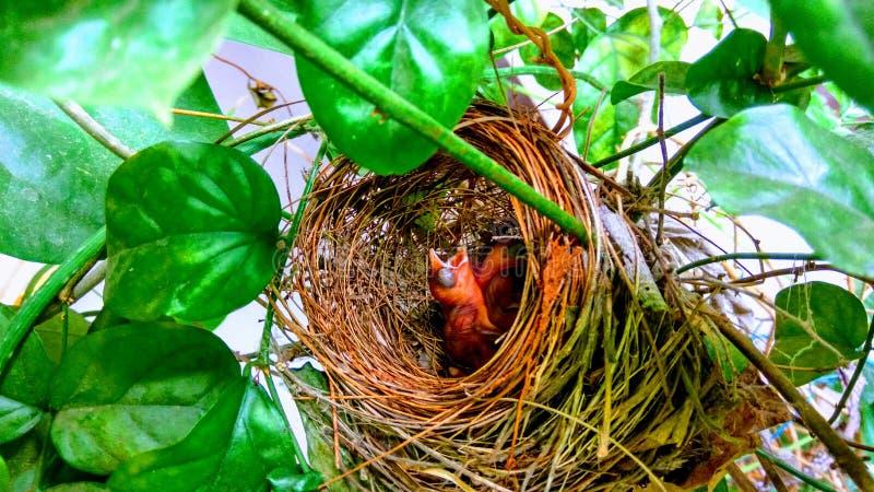 Pássaros de bebê recém-nascidos que esperam a alimentação foto de stock royalty free