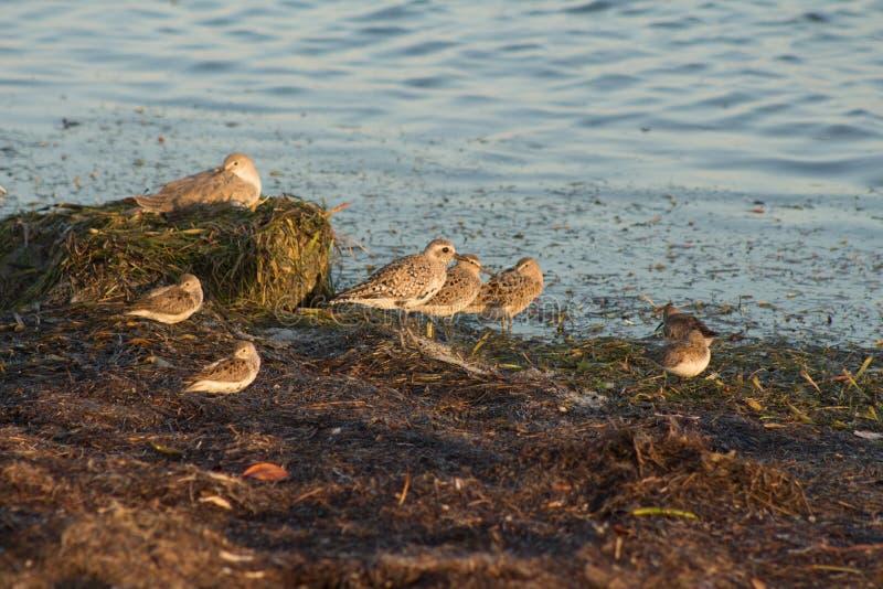 Pássaros de costa de Florida foto de stock royalty free