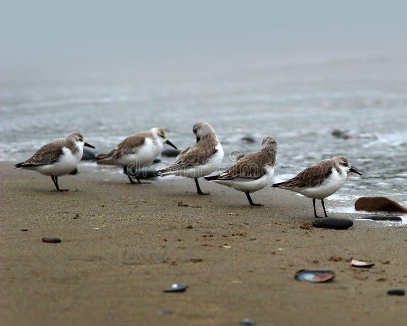 Pássaros de costa do Sanderling na Costa do Pacífico fotografia de stock royalty free