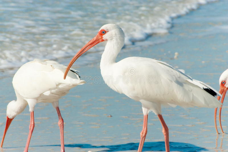 Pássaros de Florida fotos de stock royalty free
