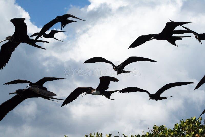 Pássaros de fragata fotos de stock
