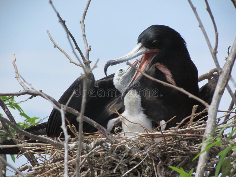 Pássaros de fragata foto de stock royalty free