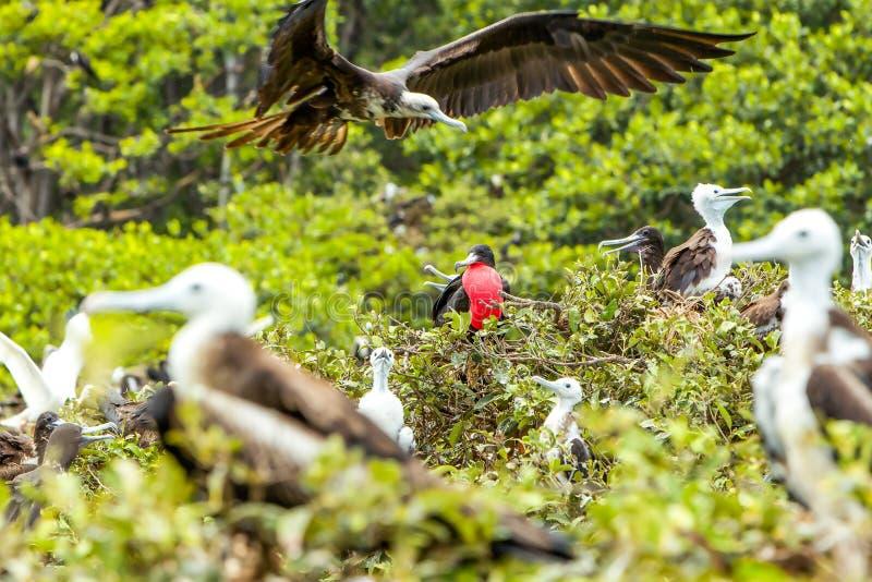 Pássaros de fragatas com homem no centro imagens de stock