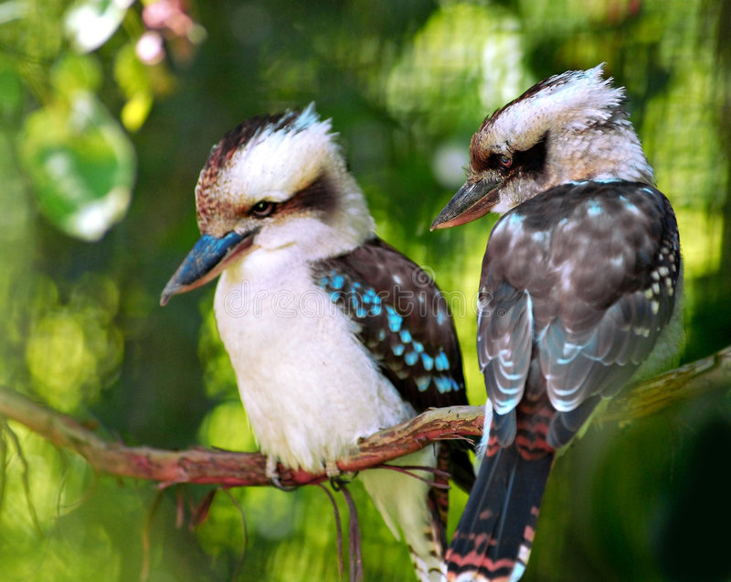 Pássaros de Kookaburra fotos de stock