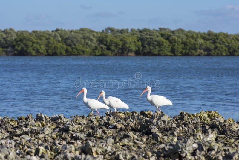 Pássaros de mar brancos dos íbis em Florida fotos de stock