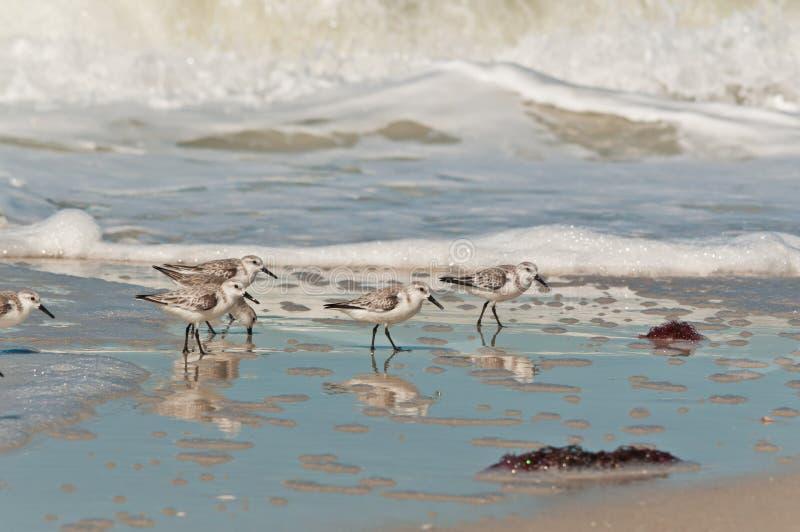 Pássaros de mar do Sanderling que andam ao longo da linha costeira de uma praia tropical imagens de stock royalty free