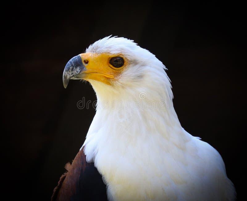 Pássaros de rapina, ou de aves de rapina imagens de stock