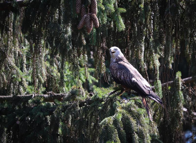 Pássaros de rapina, ou de aves de rapina imagens de stock royalty free
