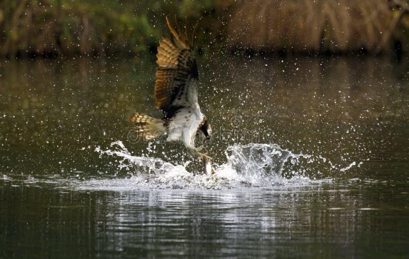 Pássaros de rapina - pesca do Osprey foto de stock