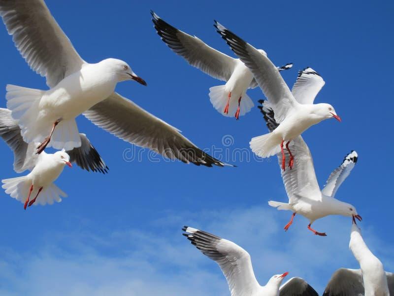 Pássaros de voo fotografia de stock royalty free