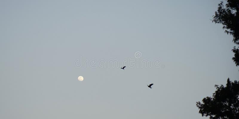 Pássaros de voo com a lua, Dhaka fotos de stock